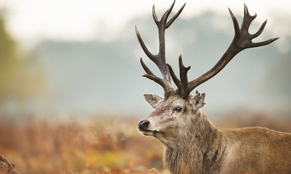Close-up Of An Injured Red Deer During The Rutting Season, Uk.